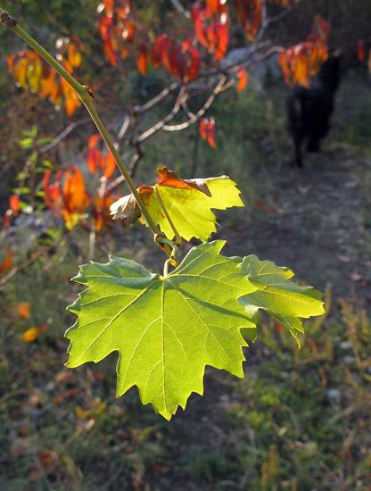 Виноград в листопаді