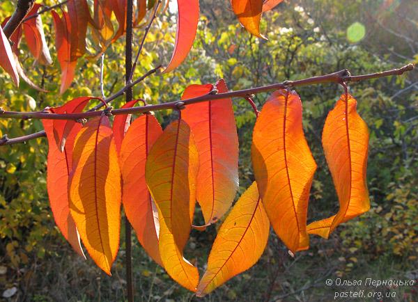 Листя персику