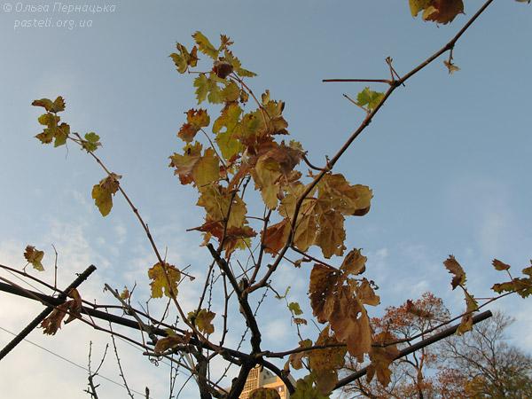 Виноград восені