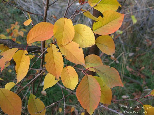 Вишневе листя