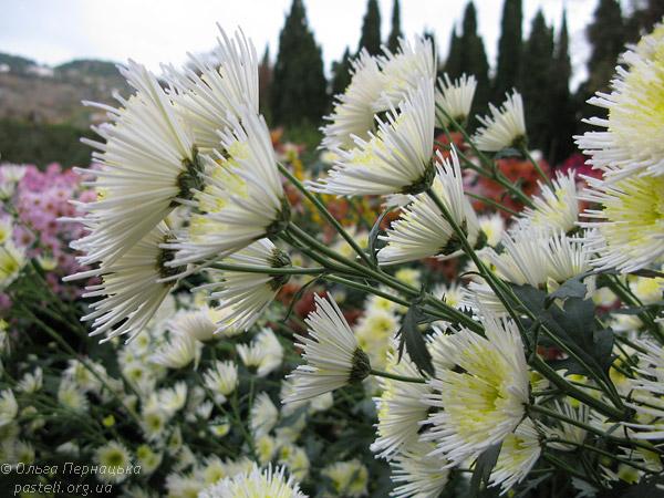 Хризантема в Нікітському