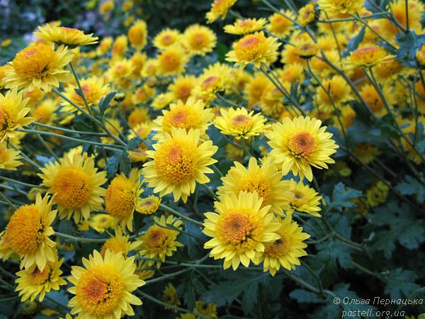 Жовта хризантема