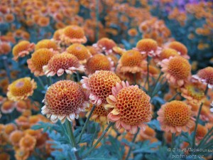 Хризантема-подушечка