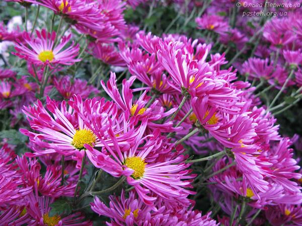 Рожева хризантема