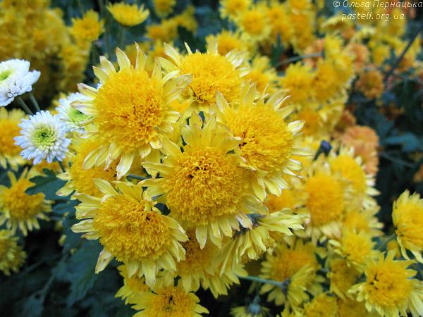 Сонячна хризантема